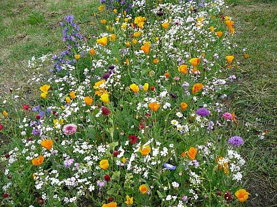 picture of 2013 wildflower trial at Mildred Road verge]